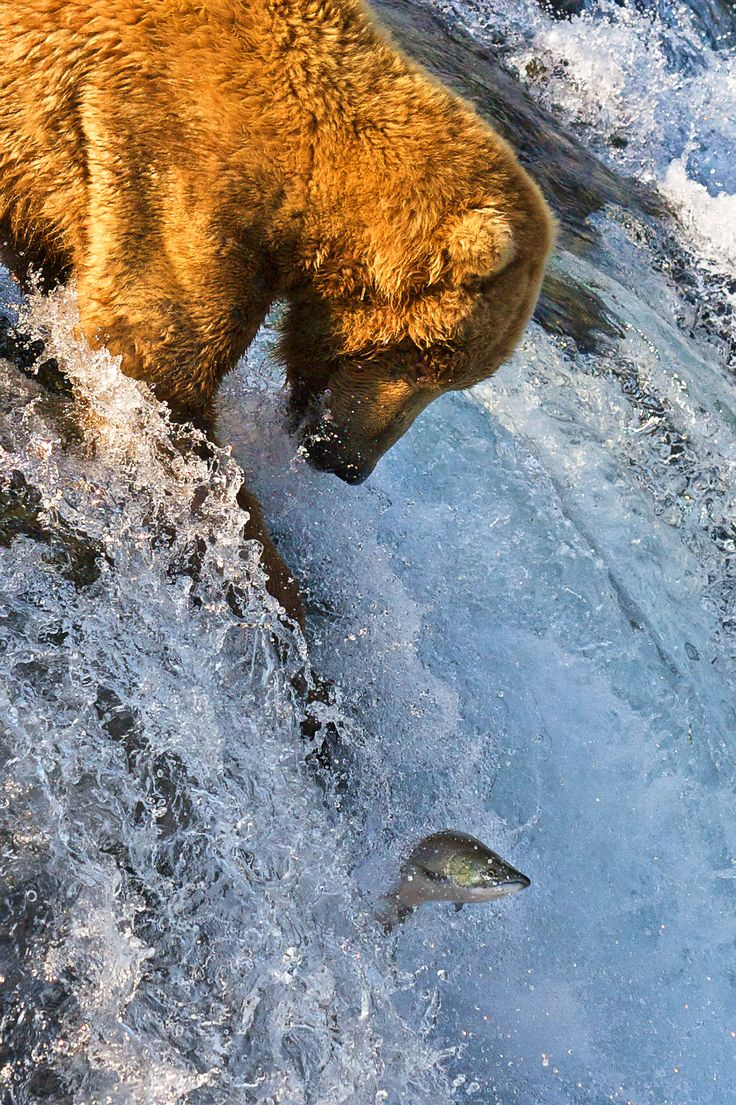 Images coyotes and coyotes hunting in tandem by matt knoth via - Grizzly Bear