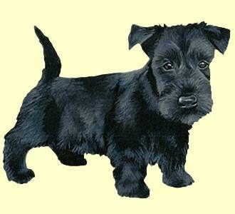Terrier escocés Cachorro - manto 51