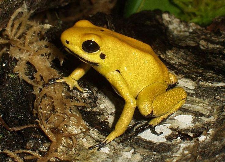 Esta es la Rana de Dardo Dorada de Colombia. Es considerado el vertebrado más venenoso del mundo. Vive en las selvas del Choco.