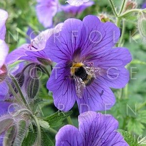 Geranium himalayense AGM - - Norfolk Cottage Garden