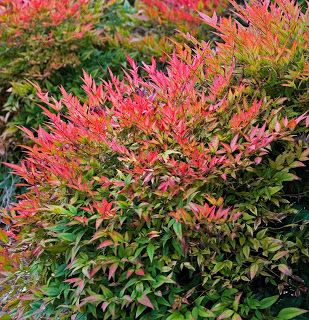 Nandina 'Moon Bay' is a low-growing shrub - wider than tall - perfect for placing under the windows in the front of the house. Lime-green new growth and red-accented winter color. Drought tolerant. 2'-3' tall x 3'-5' wide.