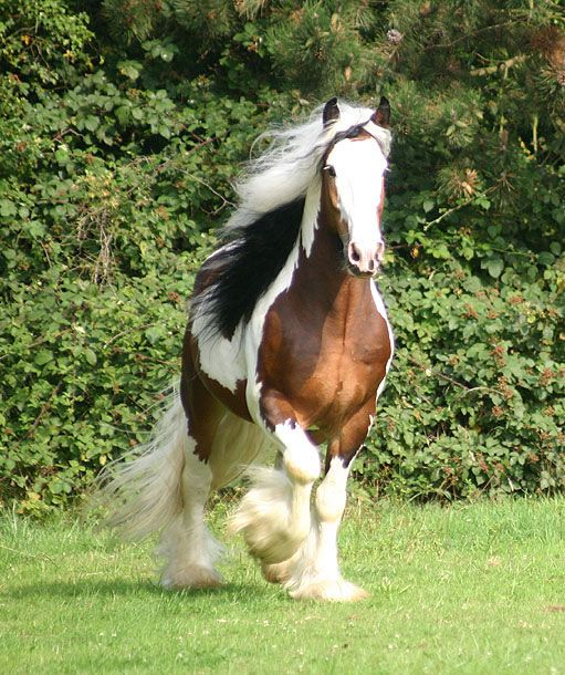 Bred to pull gypsy wagons, still I love them, and the wagons--the stuff of fantasies! Sir Maverick - Gypsy Vanner, Gypsy Cob - For Sale