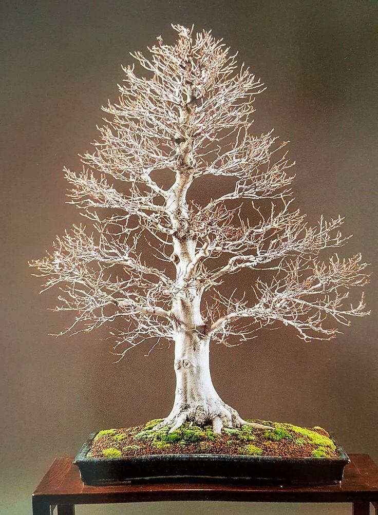 #haya - #kokufu 1982 Miércoles, abierto de 18:00 a 21:00. BONSAIKIDO, tu escuela de #bonsai en Madrid. Paseo de la Castellana, 100, bajo izda. www.bonsaikido.com