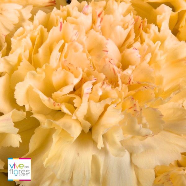 Nuestros claveles amarillos quieren expresar alegría y felicidad. Consíguelos en Vivelasflores.com