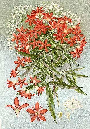 Ceratopetalum gummiferum-Minchen.  New South Wales Christmas Bush