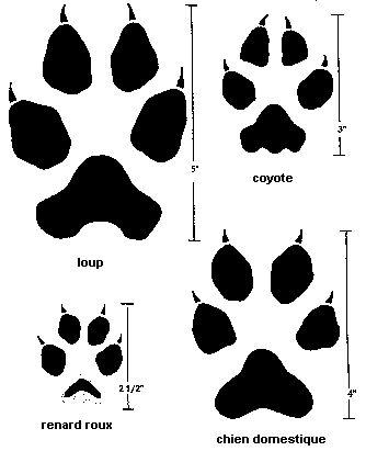 Image illustrant la trace du loup (5 pouces), du coyote (3 pouces), du renard roux (2 1/2 pouces) et du chien domestique (4 pouces)