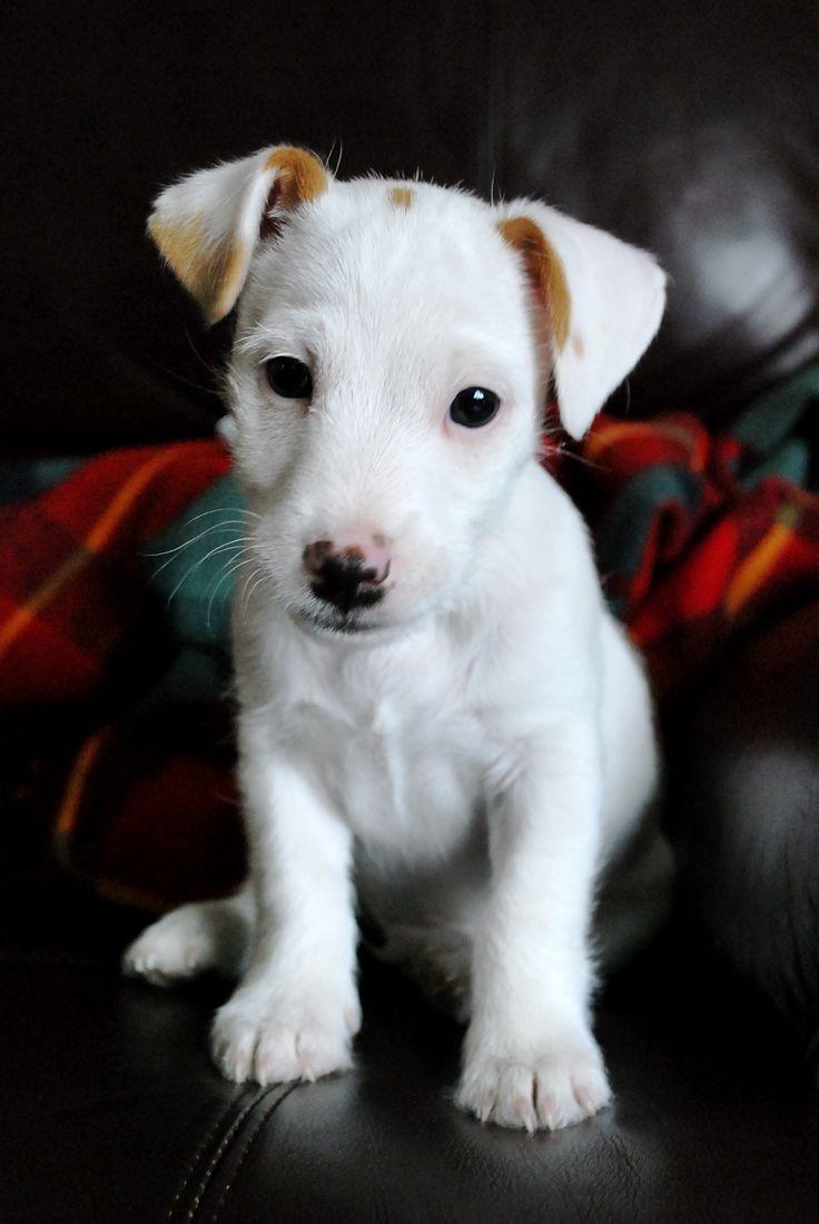 Jack Russell Terrier - /.../
