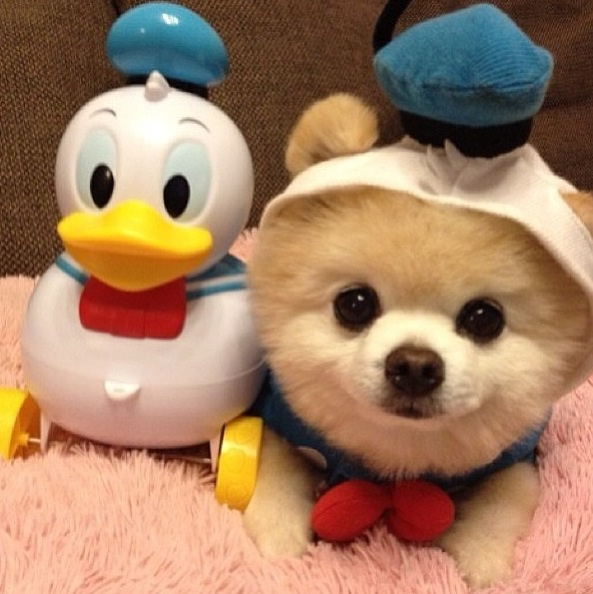 pomeranian outfits super cute pomeranian in donald duck outfit costume 8456