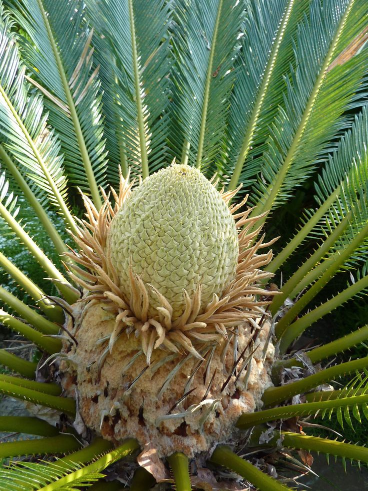 13 Best Cycas Revoluta Images On Pinterest