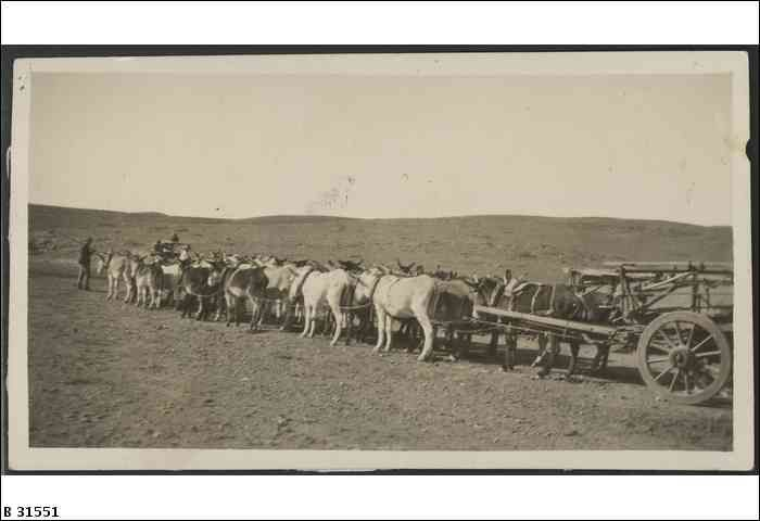 Donkey Team carting copper ore from rear of Mount Painter. (Team of 40 donkeys) ca. 1900