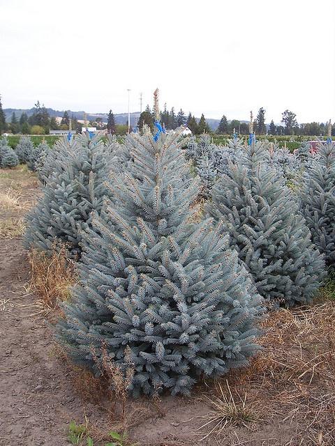'Fat Albert' blue spruce (Picea Pungens 'Fat Albert') by Clinton Smay, via Flickr