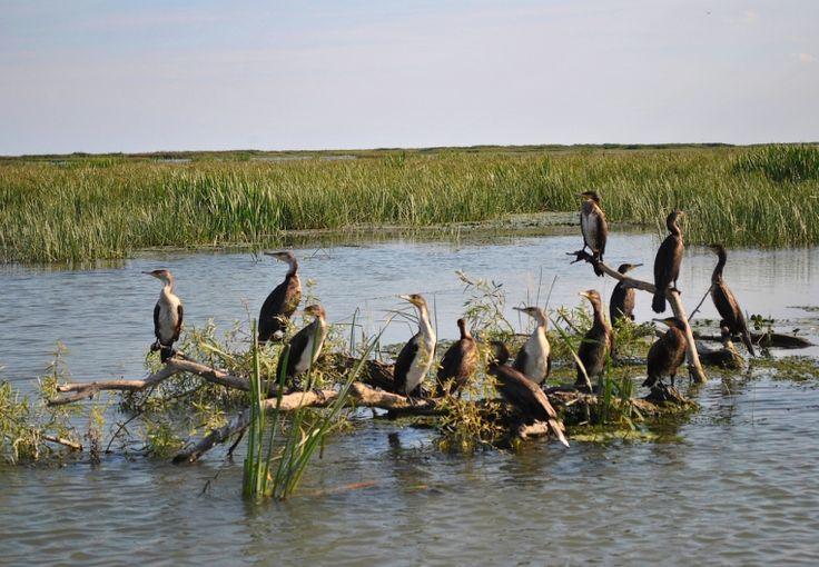 Danube Delta Romania Black Sea Delta Dunarii eastern Europe birsd fauna