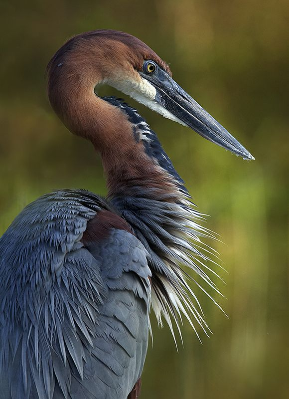 Goliath Heron. This is the largest heron in the world standing at between 120 - 152cm tall.  Its broad wings flap ponderously to propel thhis huge bird through the air.  The smaller Purple Heron has similar colouring but the white under-stripe and black legs of the Goliath are diagnostic. Found on wetlands, estuaries and dams.