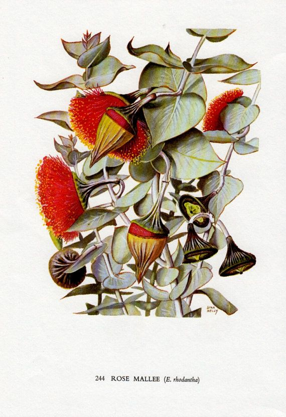 Vintage print ROSE MALLEE Australian Gum Tree with Red Flowers Botanical print
