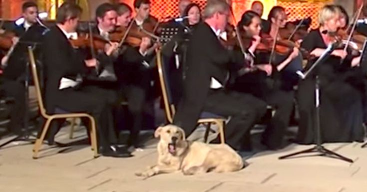 Stray Dog Earns Symphony Of Laughs For Interrupting Orchestra