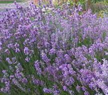 Growing lavender in Colorado