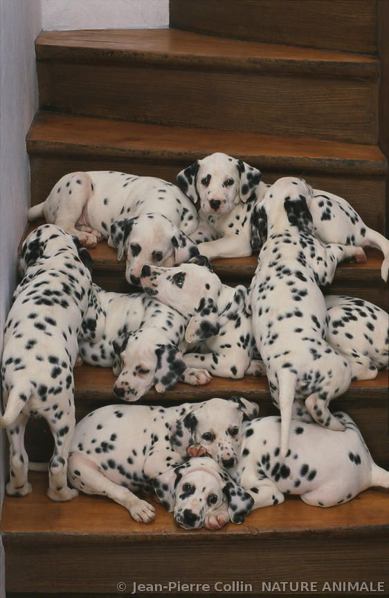 Portée de dalmatiens dans un escalier