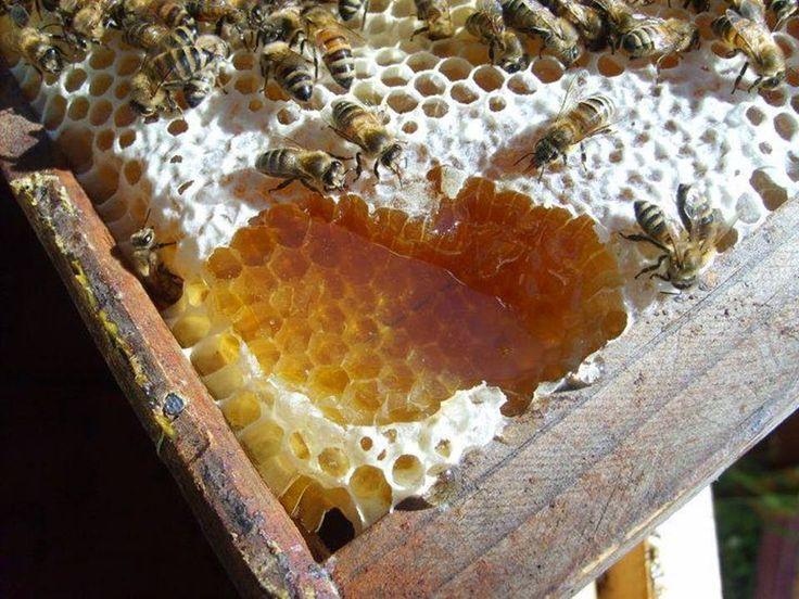 Ορεινή Μέλισσα: Μέθοδος θυμαριού Γκρεχ: Κάθε μελίσσι πάνω από 100 κιλά μέλι!!