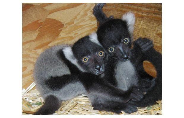 twin baby animals   ZooBorns: cute exotic baby animals born at zoos around the world ...