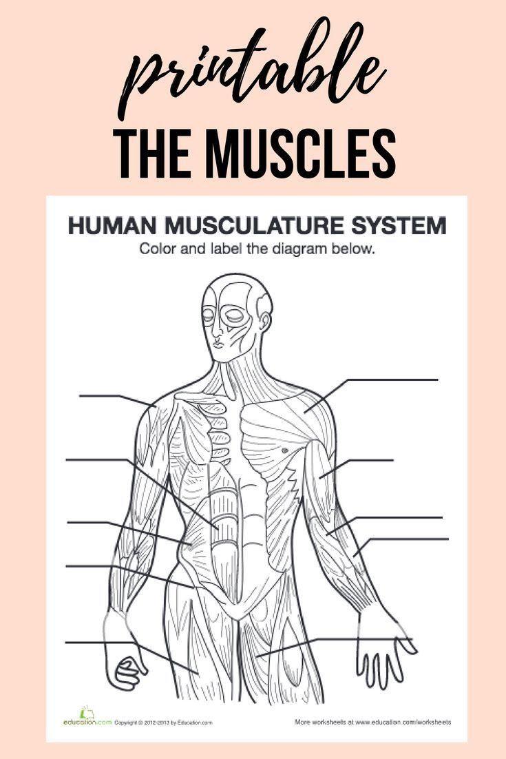 Inside The Living Body Worksheet Muscle Diagram In 2020 Human Body Worksheets Human Body Systems Muscle Diagram