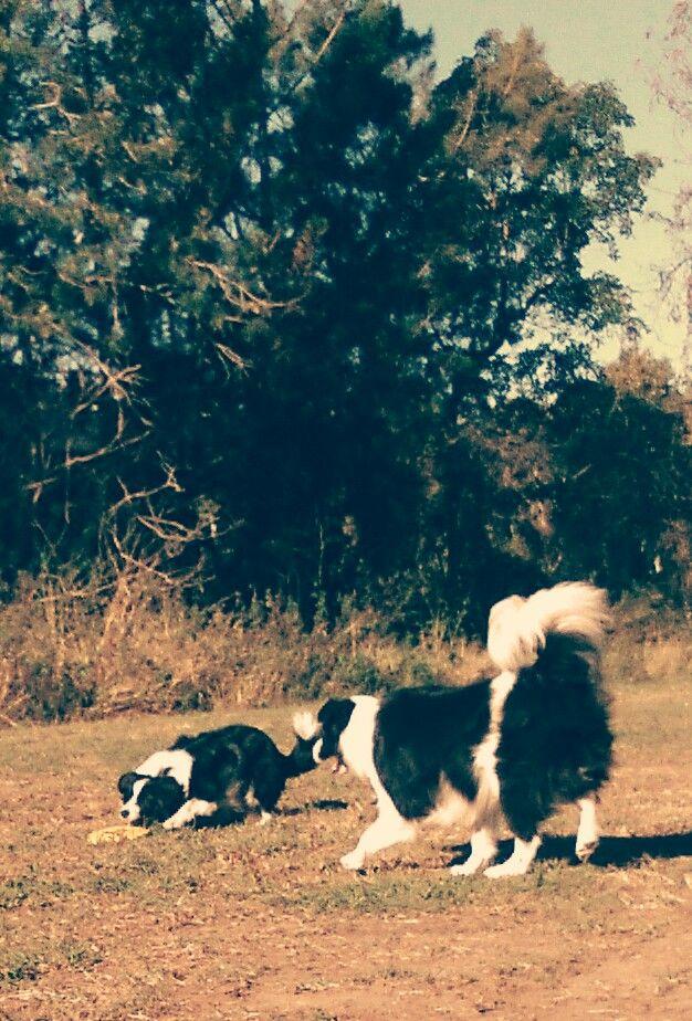 PAMMY/PADDY.......FRISBEE HUNTING! (PAMMY ALWAYS WINS.......I THINK HE LETS HER)! dogsbigdayout.com.au