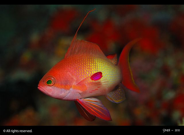 17 Best Images About Reef Safe Fish On Pinterest