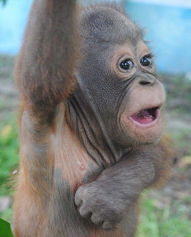 pics of baby orangutans meet