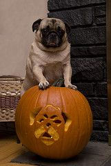 Benefits of Canned Pumpkin for Cats or Dogs - Photo Credit: jillwatson on Flicker,