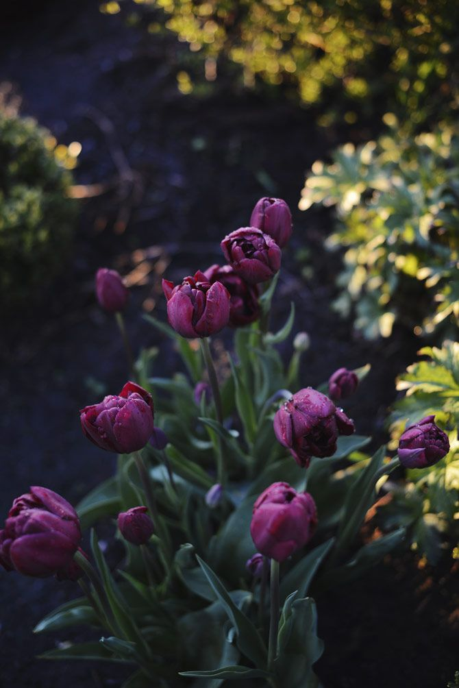 Tulipa 'Antraciet' är en helt fantastisk sort med sina pionliknande blommor.