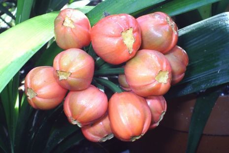Clivia: How to grow clivias from seed. Remove the skin, the gelatinous pulp and the enveloping membrane from the seed. Wash in sunlight liquid. Dry with a papertowel. Dust lightly with a suitable contact fungicide and store in a ventilated container.