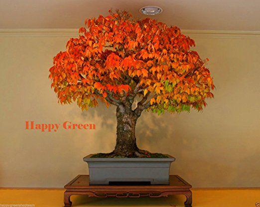 JAPANESE ELM - 30 seeds - Zelkova serrata - American Bonsai Fast grow Tree