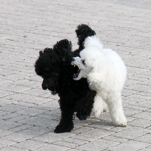 Cómo detener una pelea de perros.  #mascotas #perros #animales #caniche #dog