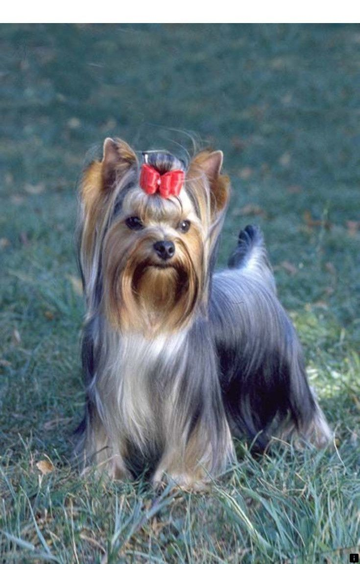 Bewildered Dog Training Pitbull Dogfoodjkt Dogcostumesdr Who In 2020 Yorkshire Terrier Akc Breeds Dogs Hugging
