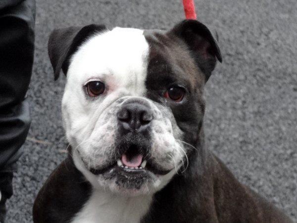 Bulldog/Boston Terrier mix | Pets | Pinterest | Terrier ...