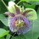 Graines de Passiflora maliformis