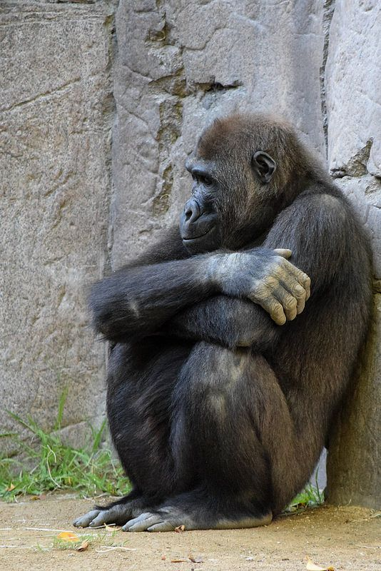 """The Safari Park's lowland #gorilla named Frank turned 6 this year. Male gorillas between 8-12 years old are called """"blackbacks,"""" as they won't become more silver in color until they are 12-15 years old."""