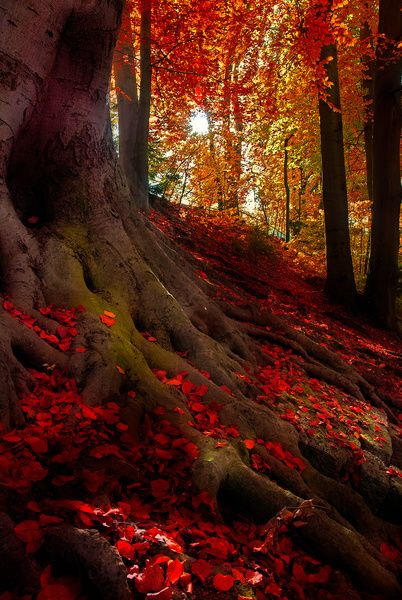 Red leaves on the ground in the autumn forest, with tree roots