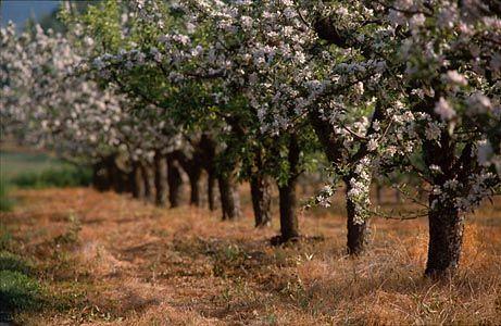 Blommande äppelträd, Kivik, Österlen. Skåne. Sverige