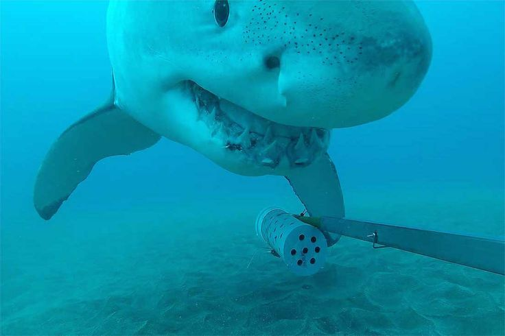 """A great white shark left scientists """"buzzing"""" after it grabbed a baited underwater research camera and dragged it to the surface — not once, but three times, according to researchers at Massey University in New Zealand."""
