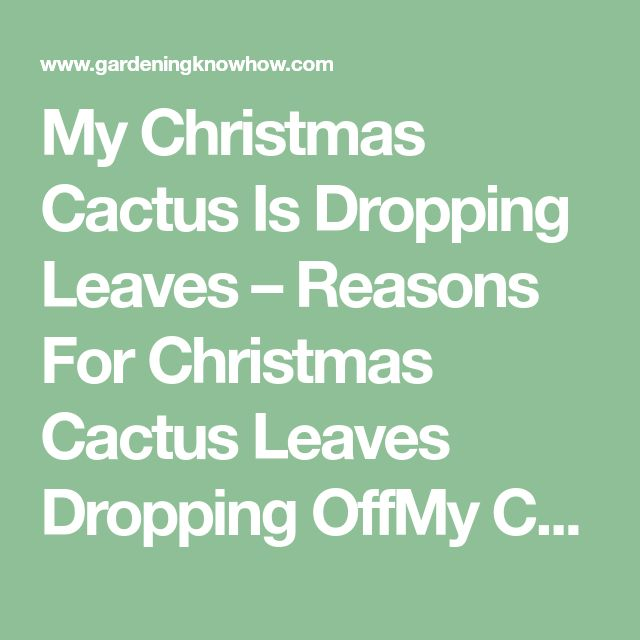 My Christmas Cactus Is Dropping Leaves – Reasons For Christmas Cactus Leaves Dropping OffMy Christmas Cactus Is Dropping Leaves – Reasons For Christmas Cactus Leaves Dropping Off