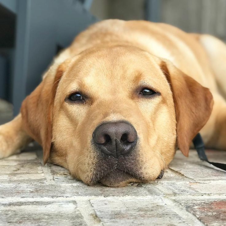 Cooper is pretty poopered redfox redfoxlab