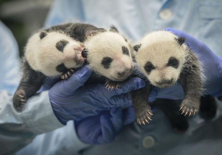 Pandas gigantes trillizos con un mes de edad Nacidos en Julio 2014 en Parque Safari Chimelong, #Guangzhou #China #fotografia de Liu Dawei  (via @Xinhua9 twitter) #panda