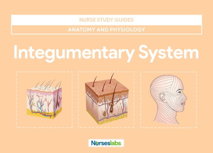 1000 Images About Integumentary System On Pinterest Manual Guide