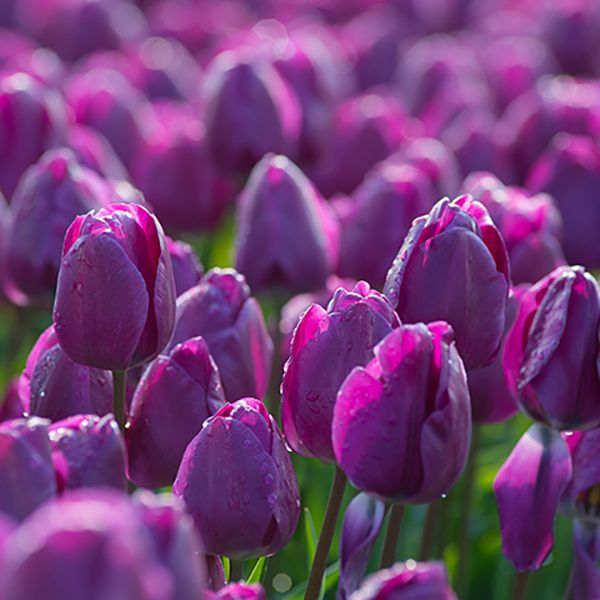 """A photograph of the the spring flowering Tulip Bulbs cultivar """"Best Purple"""""""