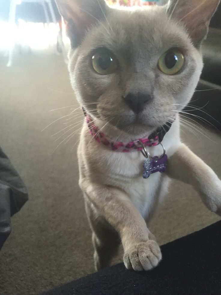 That face! Miss Lucinda lilac burmese