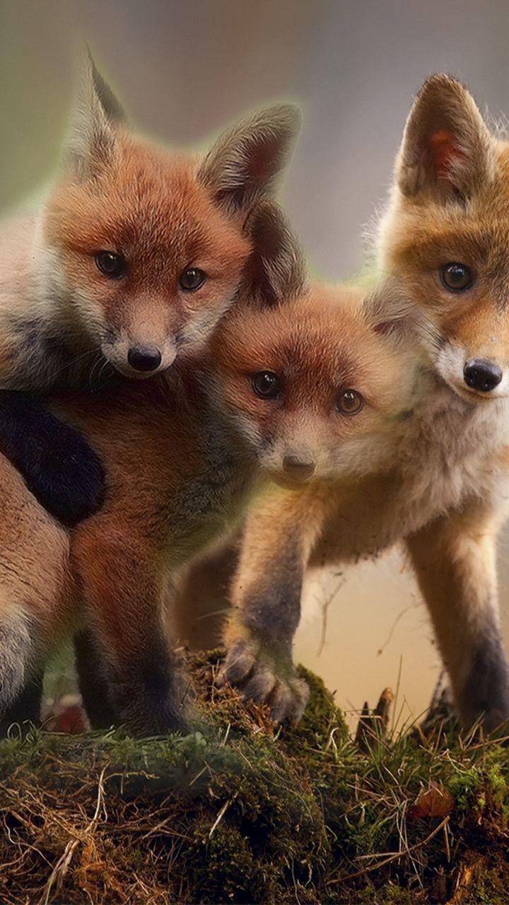720x1280 Wallpaper Cute Fox Babies Wildlife 720x1280