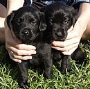 Truebred Labradors breeder of purebred Labradors and registered with Dogs NSW.  http://www.dogzonline.com.au/breeds/member.asp?name=TRUEBRED