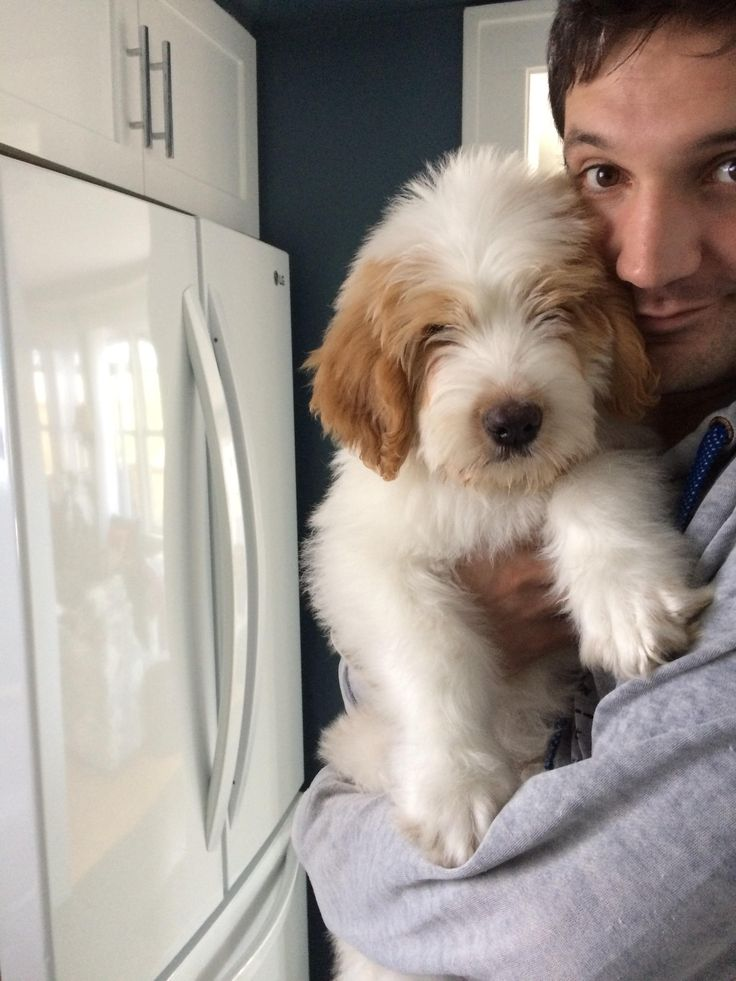 Say hi to Murphy the St. Berdoodle http://ift.tt/2pt3AmW