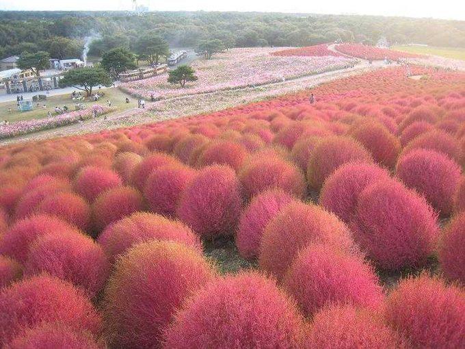 真っ赤な丘と可憐なコスモスの咲く国営ひたち海浜公園 | 茨城県 | [たびねす] by Travel.jp
