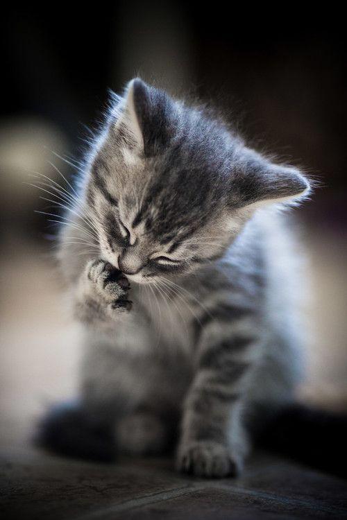 ...un petit chat tout gris, c'est trop joli! comme ma petite Zoë de Guyane, la sauvageonne sauvée!